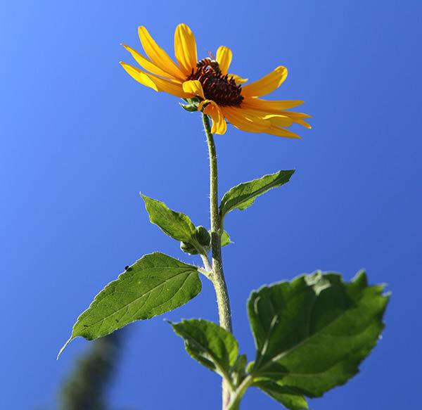 sunflower-from-below