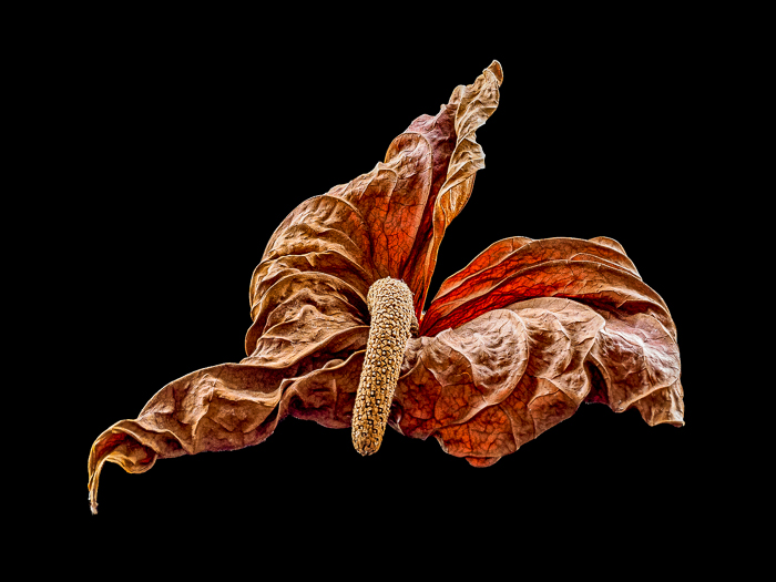 The voluptuous essence of the anthurium shines on in exquisite textures and light long after the heedless gardener might have discarded it.
