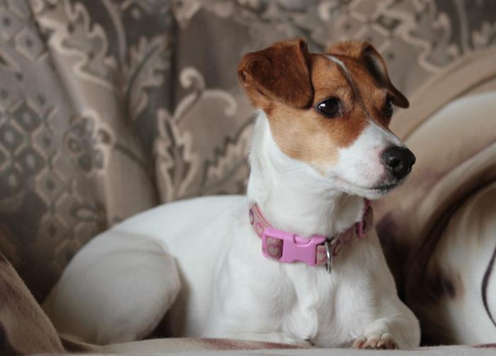 sofa-dog